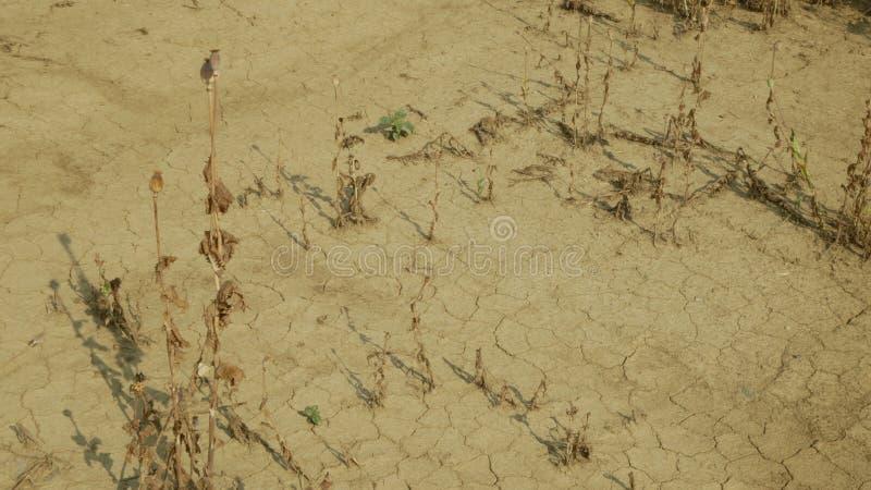 La siccità che stessa la terra asciutta del campo con il papavero lascia il poppyhead del papavero, suolo inaridente si è fenduta immagine stock libera da diritti