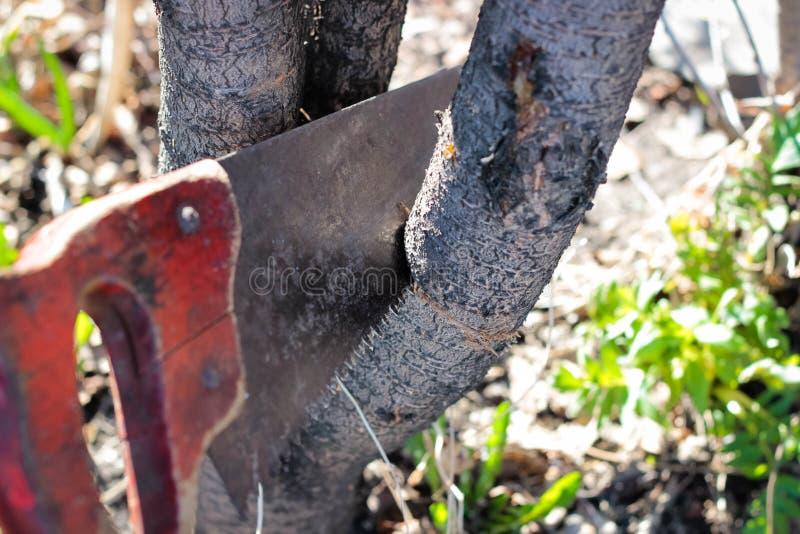 La sierra corta una rama de un árbol imagen de archivo