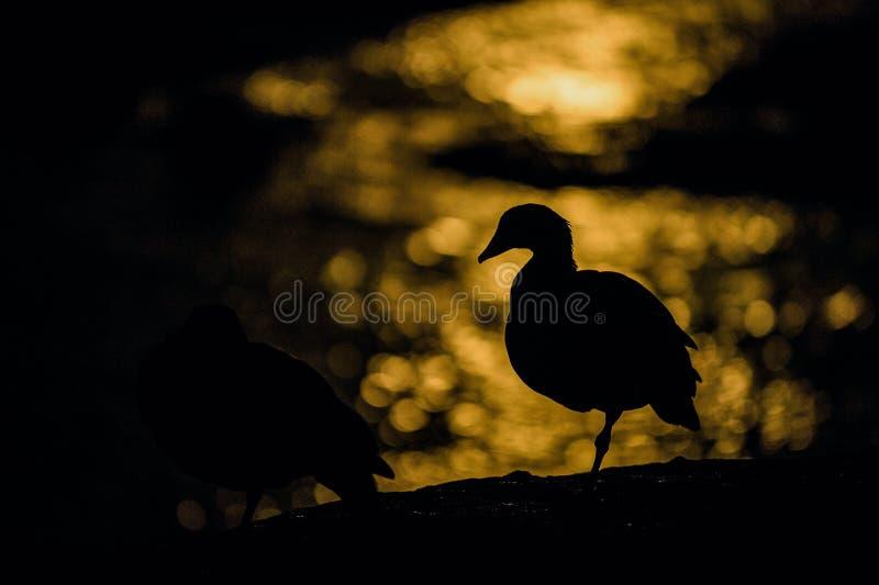 La silhouette d'oie contre le clair de lune s'est reflétée dans l'eau photographie stock libre de droits