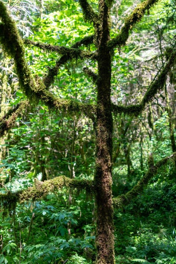 La silhouette d'un arbre envahi avec de la mousse photographie stock libre de droits
