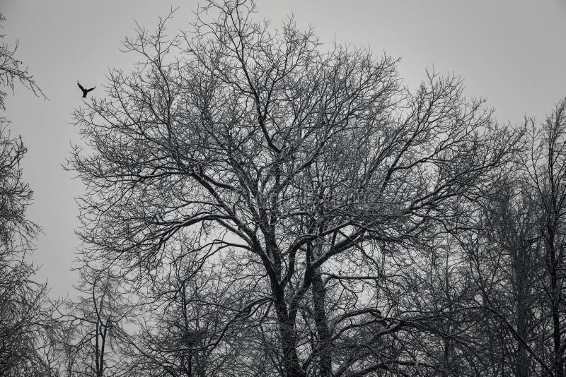 La silhouette d'un grand chêne dans la forêt, le vol d'un oiseau photo stock