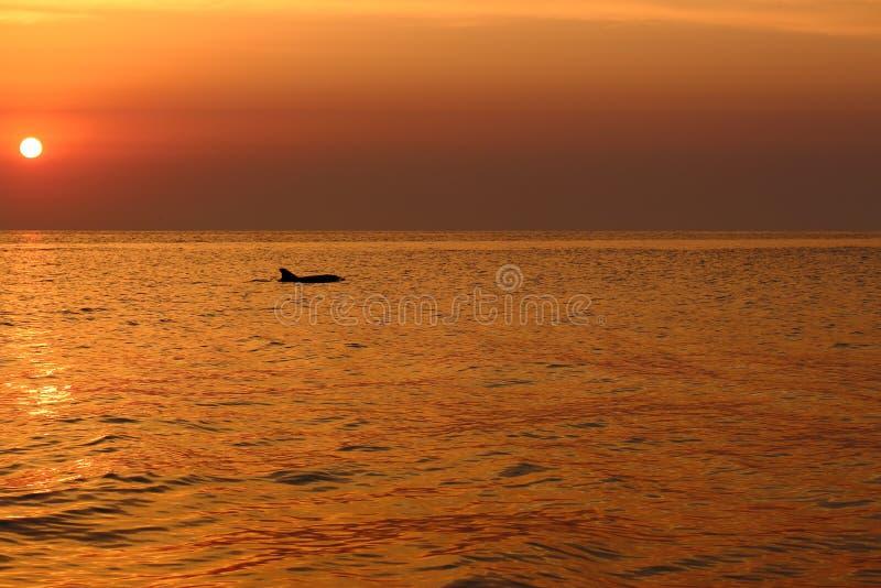 La silhouette de dauphin en mer ondule tôt le matin contre le lever de soleil et le beau ciel pourpre Vacances d'été sur le backg photos stock