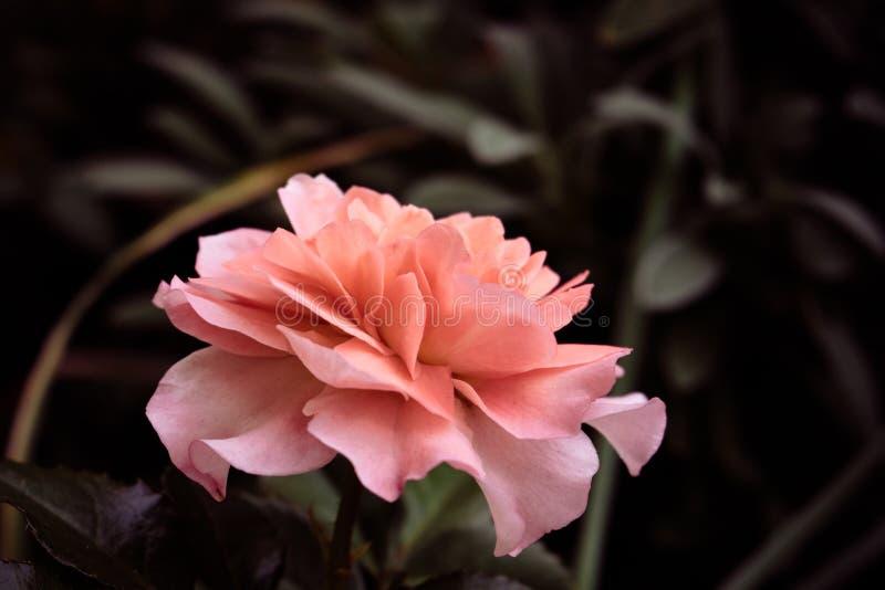La silueta de la rosa imagenes de archivo