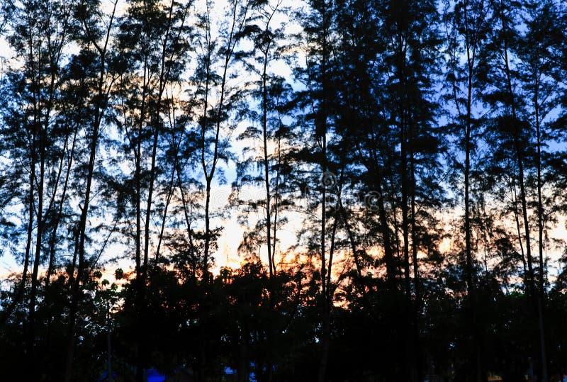 La siluetta del pino ed il ramo al tramonto si accendono nel bello paesaggio del cielo sulla natura fotografie stock libere da diritti