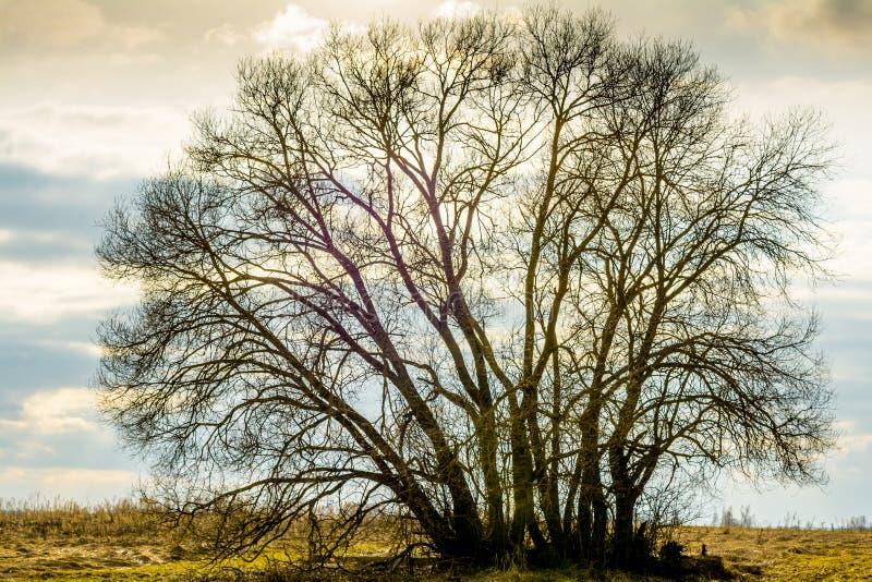 La siluetta di grande albero, una vite, una corona senza foglie, contro un fondo di un cielo bianco-blu-arancio di sera fotografie stock libere da diritti