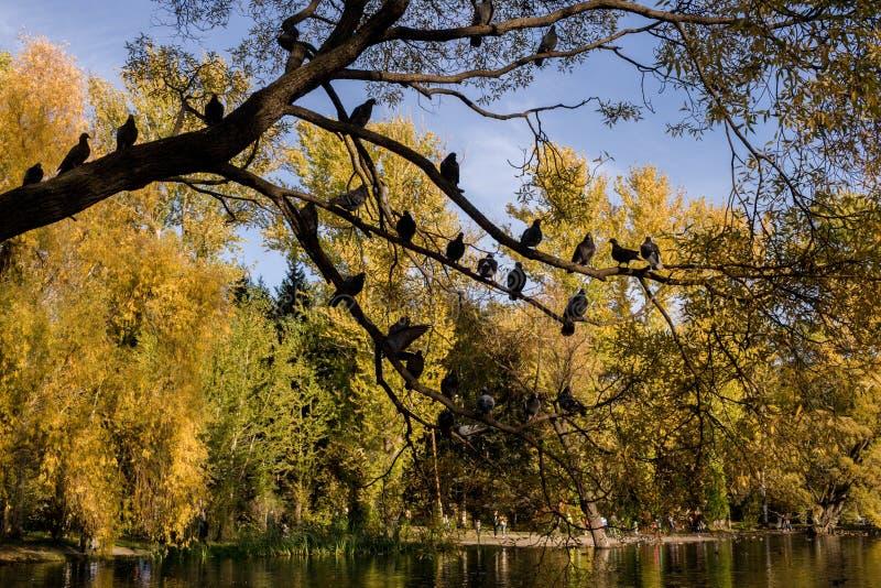 La siluetta scura del salice sopra l'acqua ed i piccioni stanno sedendo su, su fondo del parco luminoso di autunno immagine stock libera da diritti