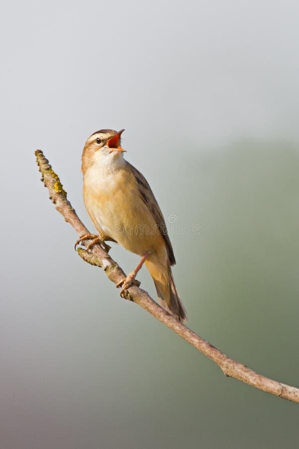 La silvia di carice (schoenobaenus del Acrocephalus) fotografie stock