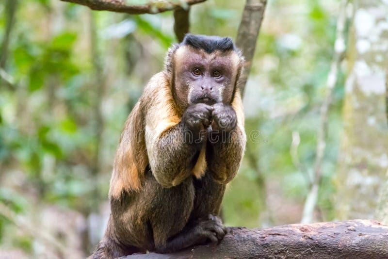 La singe de Capuciner se repose sur un arbre dans la jungle photographie stock