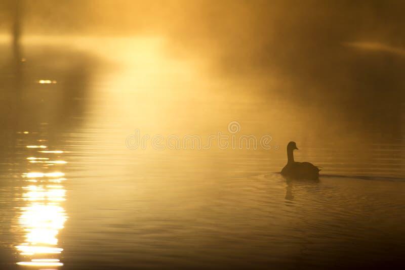 La singola oca solitaria nuota tranquillamente all'alba sul lago Mistly fotografia stock libera da diritti
