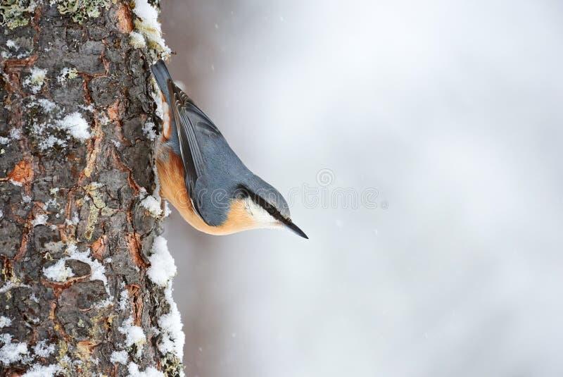 La sittelle était perché sur un tronc d'arbre en hiver photo libre de droits