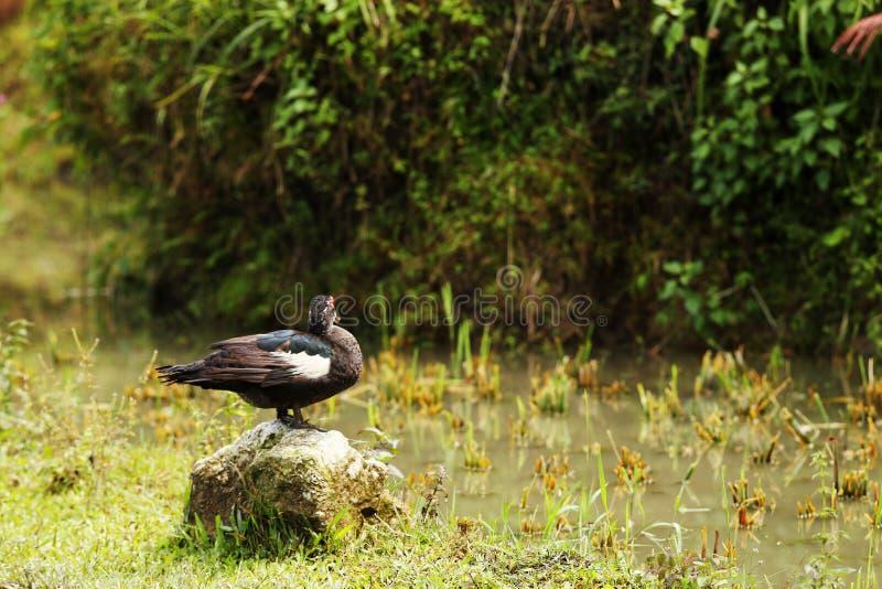 La situación del pato en la roca es el campo cortado del arroz foto de archivo