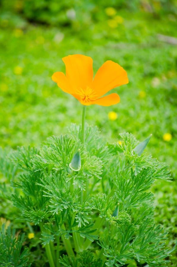 La sola flor anaranjada hermosa de la amapola en el solo con su verde se va en el fondo en un jardín botánico fotografía de archivo libre de regalías