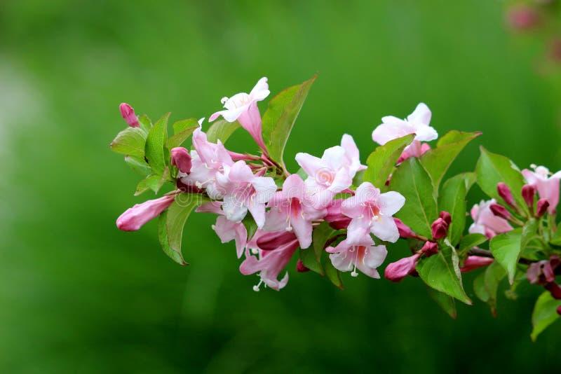 La sola rama de la planta resistente de la princesa del rosa de la Florida del Weigela con la dedalera tubular rosada color de ro imagenes de archivo