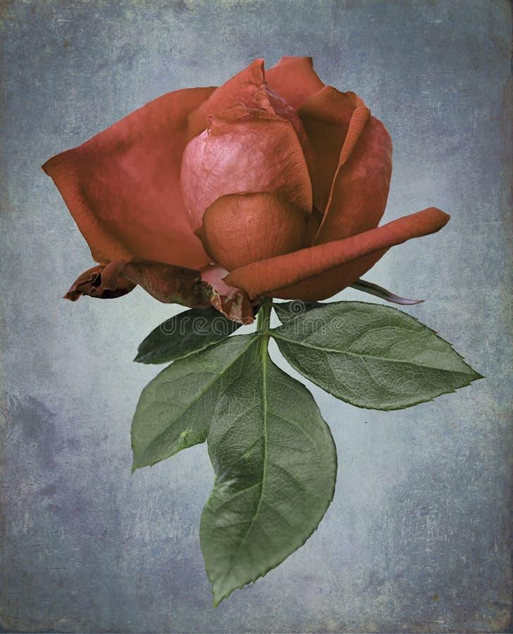 la sola rosa multicolora del rojo floreció fondo fotos de archivo