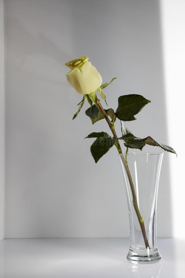 La sombra de la rosa en el cuarto húmedo Todavía vida 1 imagen de archivo libre de regalías