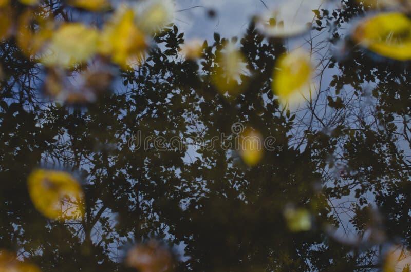 La sombra del árbol en el charco de la lluvia imágenes de archivo libres de regalías