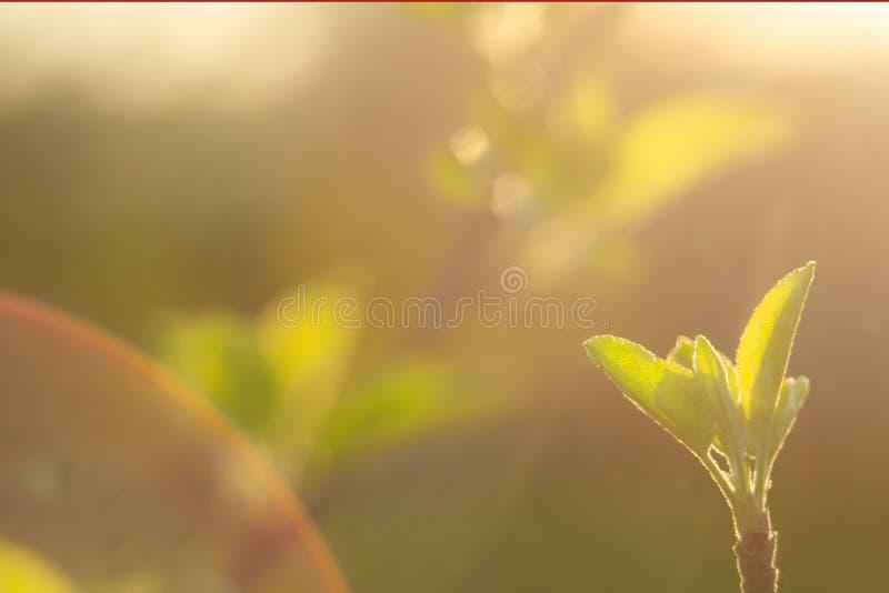 La sorgente è qui I raggi luminosi del tramonto sui precedenti del primi vago si inverdisce con i manufatti luminosi La natura sv fotografie stock