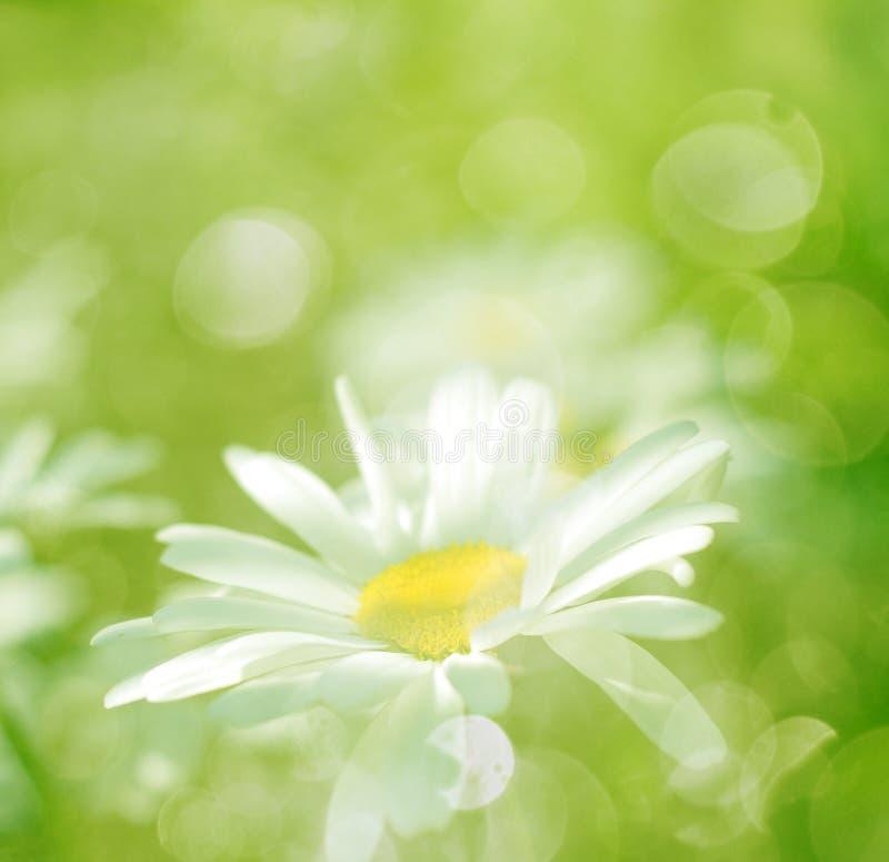 La sorgente fiorisce la margherita e l'erba con luce solare fotografie stock libere da diritti