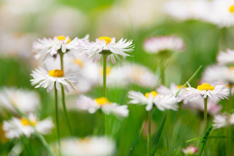 La sorgente fiorisce, pratoline in un prato verde fotografia stock libera da diritti