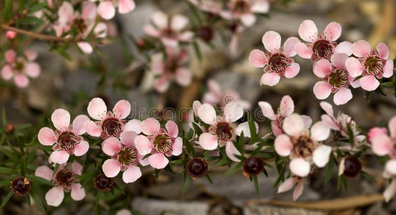 La source australienne fleurit l'arbre de thé de Leptospernum image stock