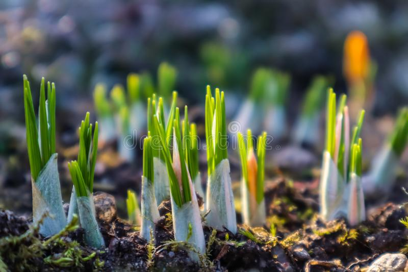 La source vient Les premiers crocus jaunes dans mon jardin un jour ensoleill? photographie stock libre de droits