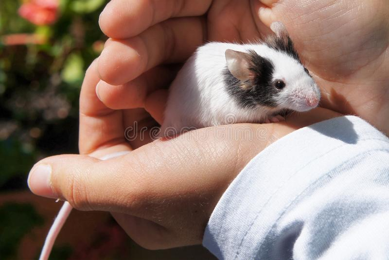 La souris blanche s'est tenue dans des mains du ` s d'enfant photographie stock libre de droits