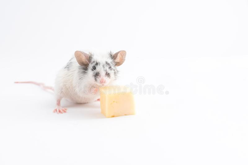 La souris décorative mignonne mange du fromage, sur un fond clair photo stock