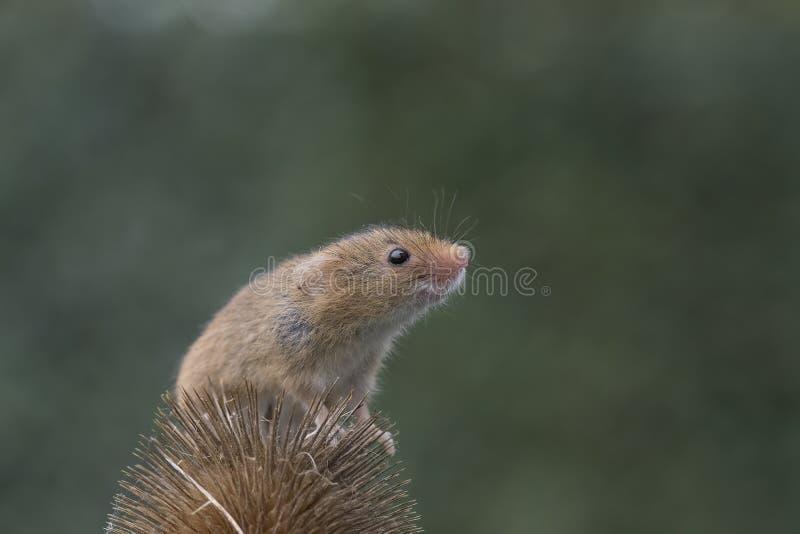 La souris de récolte, souris se ferment vers le haut du portrait se reposant sur le chardon, maïs, blé, mûres, prunellier, margue photos libres de droits