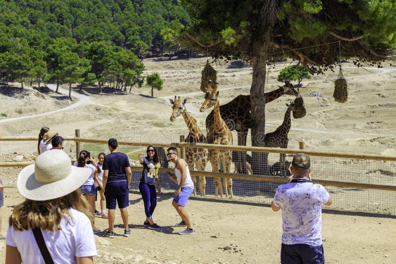 La Spagna, Penaguila - 21 giugno 2019: I turisti prendono le immagini delle giraffe in Aitana Safari Park fotografia stock libera da diritti
