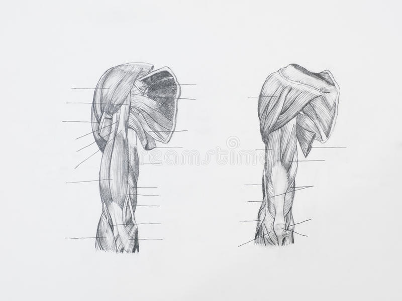 La spalla muscles il disegno a matita immagini stock