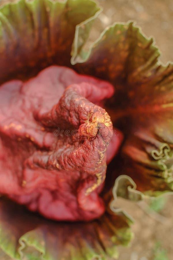 La specie Amorphophallus titanum, 'corpse flower' o titan arum, è la più grande infiorescenza incontrollata al mondo, con un'alte fotografia stock libera da diritti