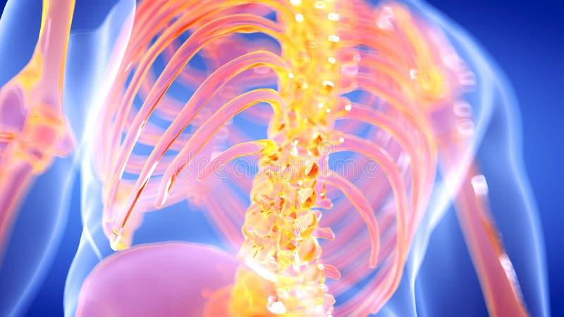 La spina dorsale scheletrica umana illustrazione vettoriale
