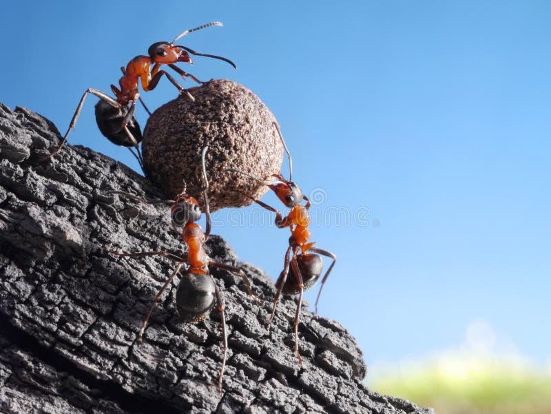 La squadra di formiche rotola la pietra in salita, lavoro di squadra fotografie stock
