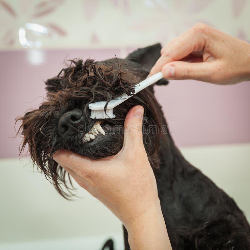 La Srta. limpia los dientes que el perro observa higiene fotos de archivo libres de regalías