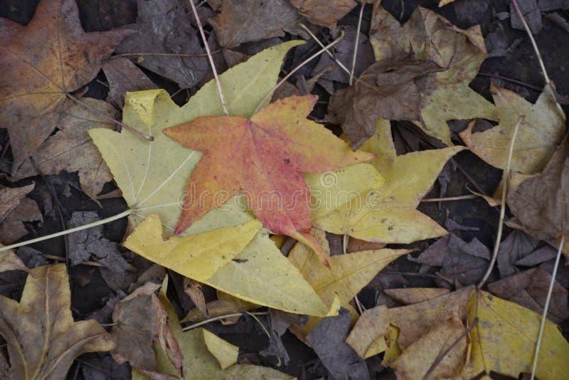 La stagione variopinta artistica di autunno della quercia lascia il fondo fotografia stock