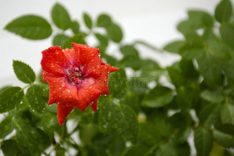 La stanza rossa è aumentato fiore e foglie verdi nelle gocce di acqua fotografia stock libera da diritti