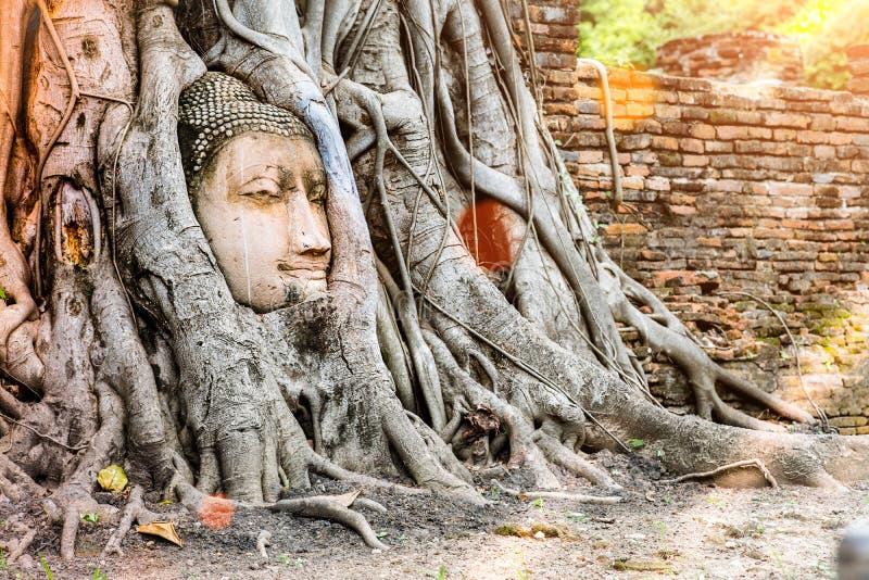 La statua della testa di Ayutthaya Buddha con intrappolato nell'albero di Bodhi si pianta a fotografia stock