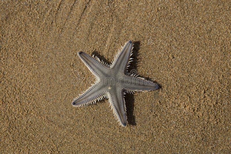 La stella della sabbia fotografia stock