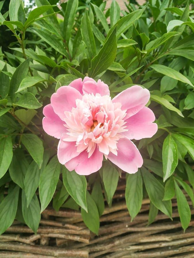 La stella reale di questa stagione: un fiore rosa della peonia immagine stock libera da diritti