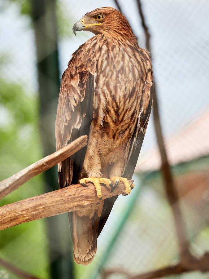 La steppe Eagle se repose fièrement sur une branche Nipalensis d'Aquila images libres de droits
