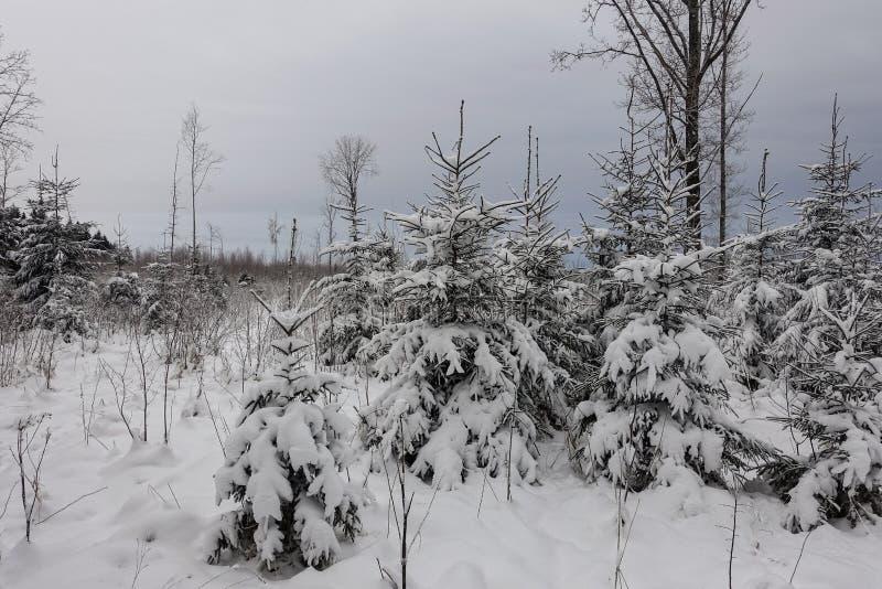 La strada là è piccoli alberi di Natale innevati fotografia stock