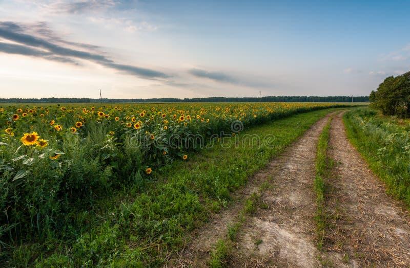 La strada lungo il campo con i girasoli nell'uguagliare luce di un tramonto immagini stock libere da diritti