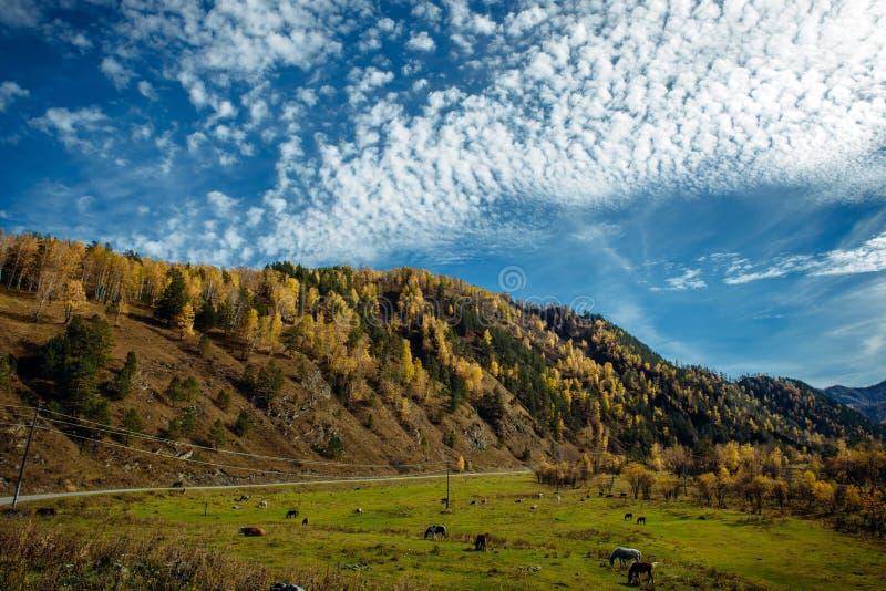 La strada nelle montagne nel giorno soleggiato di autunno, i cavalli e le mucche rurali e stretti che pascono in un prato sotto u immagini stock