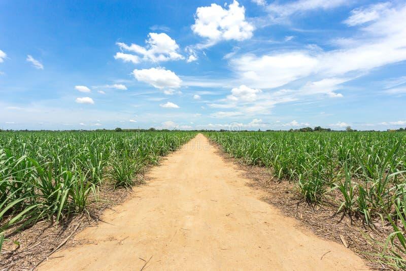 La strada non asfaltata entra in azienda agricola fra la canna da zucchero in Tailandia fotografia stock