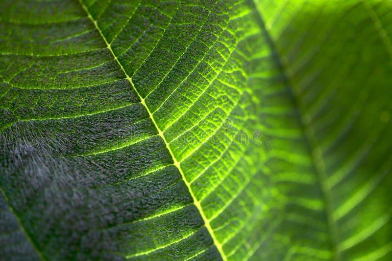 La structure d'une feuille de vert d'ouatine un jour ensoleillé photos stock