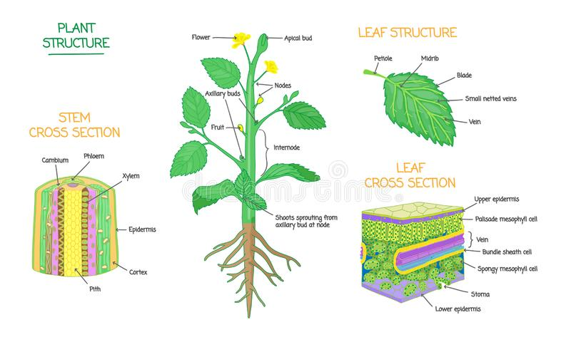 La structure d'usine et la biologie botanique de section transversale ont marqué la collection de diagrammes illustration libre de droits