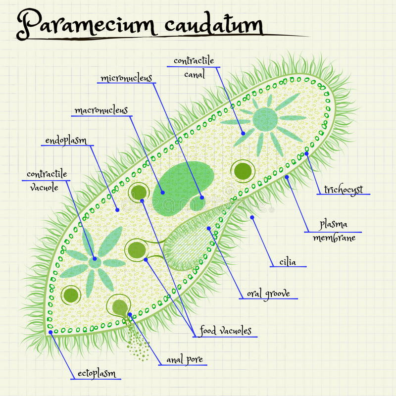 La structure du saudatum de paramécie illustration de vecteur
