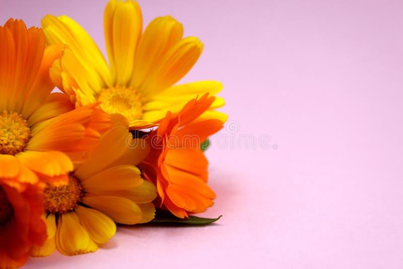 La struttura dei fiori della calendula dell'estate si trova su una superficie rosa immagine stock