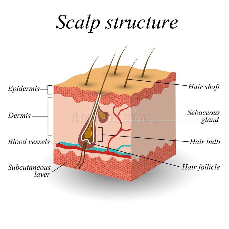 La struttura del cuoio capelluto dei capelli, manifesto anatomico di addestramento, illustrazione di vettore illustrazione di stock