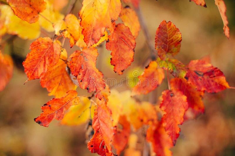 La struttura del fondo di giallo lascia Autumn Leaf Background urlo fotografia stock libera da diritti